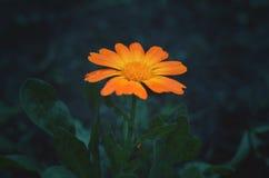 Dramatic marigold Stock Image