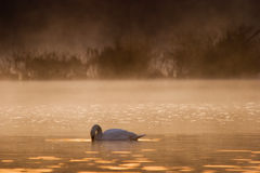 Dramatic Morning. A swan and the early morning sunrise with mist rising in the background Royalty Free Stock Photos