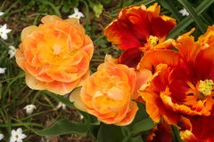 Dramatic multi-colored double and parrot tulips glow in a spring garden. Their varying shades of yellow, orange, and red contrast the muted background of royalty free stock images