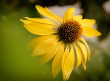 Dramatic over the top color saturation of a blossoming yellow echinacea flowers. Dramatic over the top color saturation of a blossoming echinacea or purple Royalty Free Stock Photos