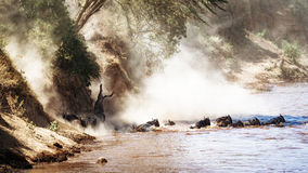 Dramatic Wildebeest Migration River Crossing Stock Photos