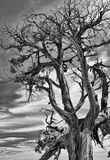 Dramatic Picture of a Dead Tree. Royalty Free Stock Photography