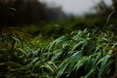 Dramatic picture of grass with water drops stock photo