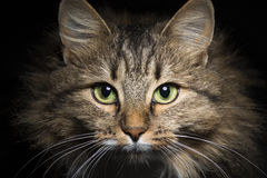 Dramatic portrait of a cat coming out of the darkness Stock Photo