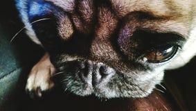 Dramatic pug Stock Image