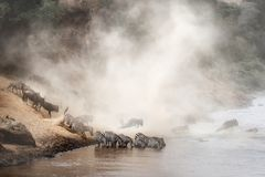 Zebra and Wildebeest Migration in Africa Stock Image