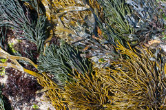 Dramatic seaweed community oin Galicia, Spain. Royalty Free Stock Images