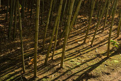 Dramatic shadows in bamboo forest (2) Royalty Free Stock Photos