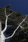 Dramatic Silver trees Royalty Free Stock Photo