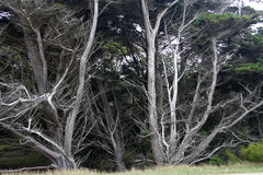 Dramatic Silver trees Royalty Free Stock Photography