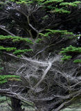 Dramatic Silver trees Royalty Free Stock Images