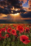 Dramatic skies over a poppy field Royalty Free Stock Images