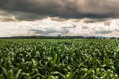 Dramatic sky corn field landscape Royalty Free Stock Photo