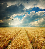 Dramatic sky and golden field Royalty Free Stock Photography