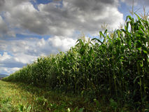 Dramatic sky over corn filed Royalty Free Stock Photos