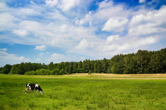 Dramatic sky over a cow in the meadow Royalty Free Stock Photo
