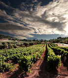 Dramatic sky on rows of vines Stock Images