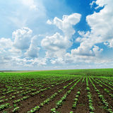 Dramatic sky and spring field with green sunflowers Royalty Free Stock Photos