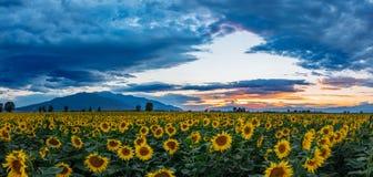 Dramatic sky on a sunflower field Stock Photo