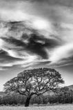 Dramatic sky and tree. Under a dramatic sky with clouds there is a beautiful  tree Royalty Free Stock Image