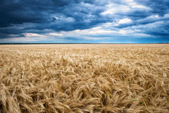 Dramatic sky on wheaten field Royalty Free Stock Images