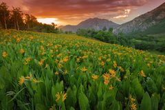 Sunset Wildflowers in the Wasatch Mountains, Utah, USA. Stock Photography