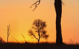 Silhouetted trees at sunset in South African bush. Dramatic skyline at sunset in a South African game reserve on safari Stock Image