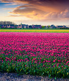 Dramatic spring sunset on the tulip farm. Near the Creil town. Beautiful outdoor scenery in Netherlands, Europe Royalty Free Stock Image