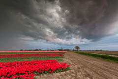 Dramatic stormy sky over tulip field Royalty Free Stock Images