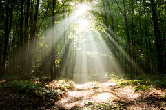 Dramatic sunlight in morning woods Royalty Free Stock Photo