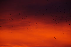 The dramatic sunrise in the city 1. Flock of birds on the background of a dramatic sunrise Stock Photo
