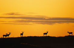 Dramatic Sunrise with Mule Deer. Mule deer bucks in summer sihouetted at sunrise Royalty Free Stock Image