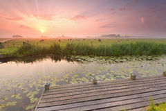 Dramatic sunrise over river with pier and cattle on pasture Stock Image