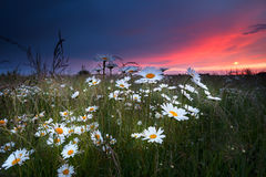 Dramatic sunset over chamomile field Royalty Free Stock Images