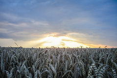 Dramatic sunset over field. Scenic country landscape with wheat field at sunset Royalty Free Stock Photos