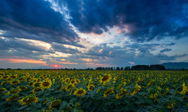 Dramatic sunset over a sun flower field Royalty Free Stock Images