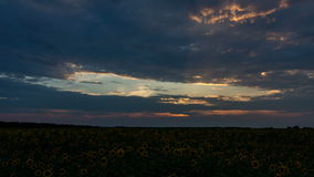 Dramatic sunset over a sunflowers fields stock video