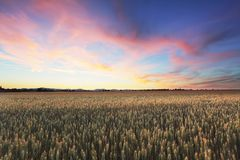 Dramatic sunset over wheat field.  Stock Image