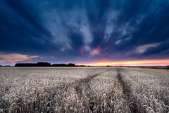 Dramatic sunset over wheat field Royalty Free Stock Photos