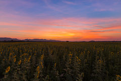 Dramatic sunset sky over full bloom sunflower field. Natural landscpae background Royalty Free Stock Images