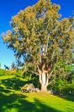 Dramatic Tree on a Rural Farm Royalty Free Stock Photo