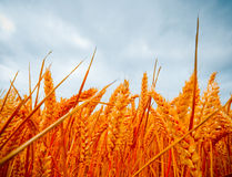 Dramatic view of wheatfields Stock Photos