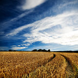 Dramatic view of wheatfields Stock Photography