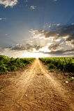 Dramatic vineyard. On cloudy surise Royalty Free Stock Photos