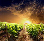 Dramatic vineyard. On cloudy sunset Royalty Free Stock Image
