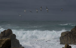 Dramatic waves with pelicans. Heavy surf creates dramatic wave action at Pebble Beach on the Monterey Peninsula in California as Brown Pelicans fly by stock photography