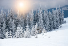 Dramatic wood in mountains after snowfall Stock Image
