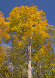 Dramatic Yellows in the Fall Royalty Free Stock Photos