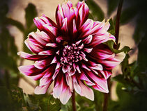 Dramatically beautiful dahlia, blurred background Royalty Free Stock Photography