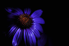 Dramatically lit flower. A dramatically lit purple flower Royalty Free Stock Photography